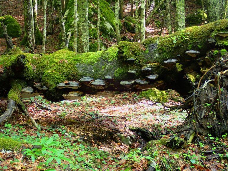 Peručica primeval forest