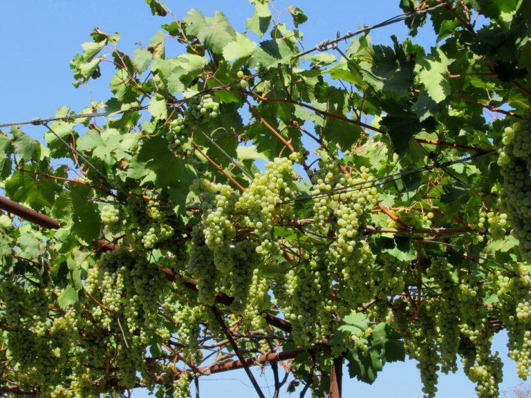Season of grape harvest.