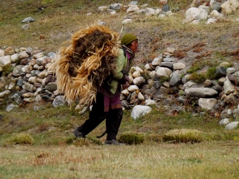 The barley is ripped off with roots, dried, the grains then squeeze by the yaks. Then they are roasted and after the fall, a tsampa, the main food of the Ladacians, will be created.
