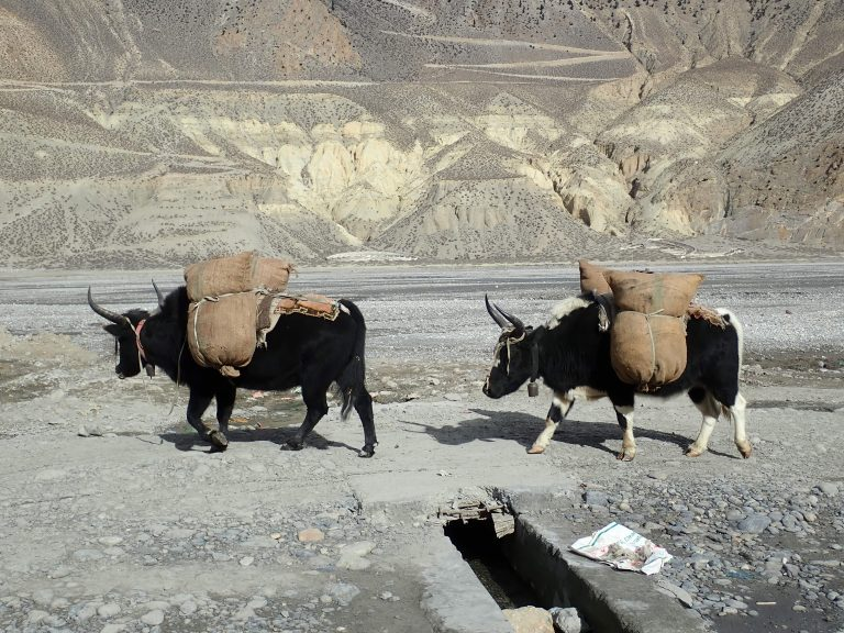 Porters and yak caravans are still a must as soon as it is necessary to turn off the main road and supply a remote settlements.